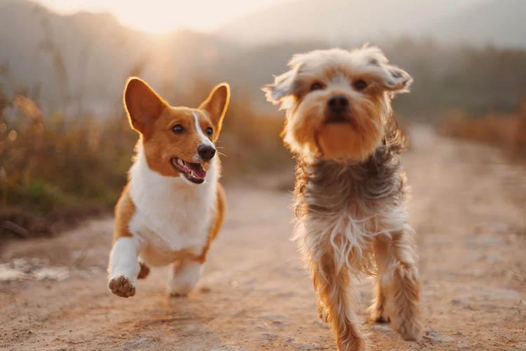 Pareja de perros pequeños corriendo y jugando en el campo